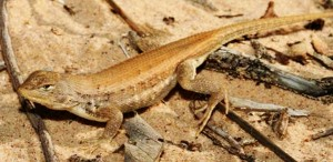 DunesSagebrushLizard2-1024x500